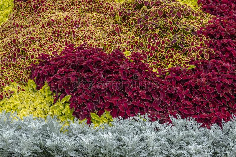 A flower bed with silver cineraria, a red coleus in a city park on a summer day. Landscape design. Floral background. Burgundy, motley coleus, silver cineraria stock photos