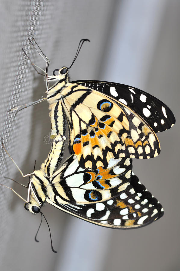 Lime butterfly mating stock photo