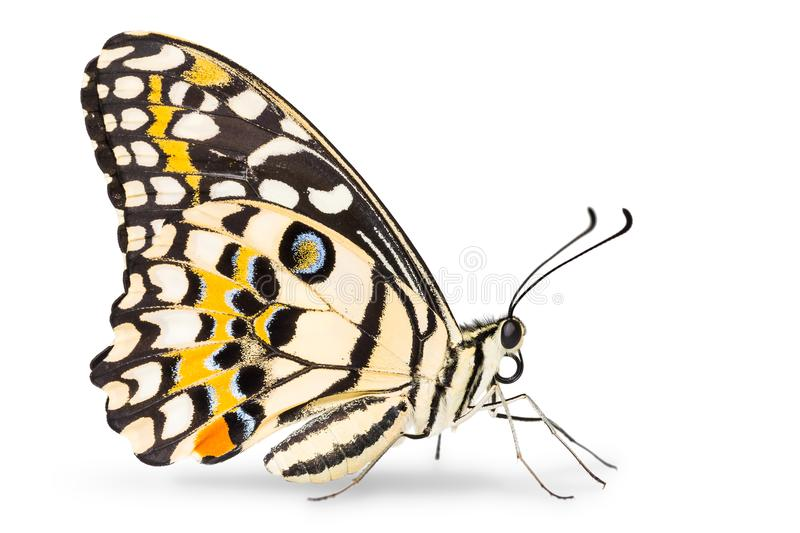 Lime butterfly Papilio demoleus stock photo