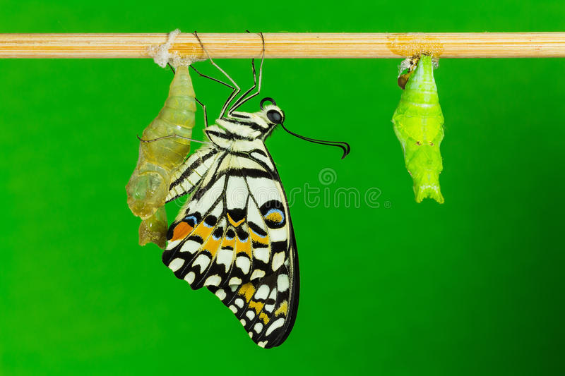 Download Lime Butterfly (Papilio Demoleus Malayanus) Stock Photo - Image: 29030438