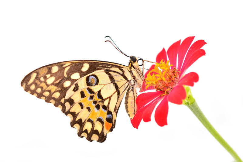 Lime butterfly on red flower royalty free stock photography