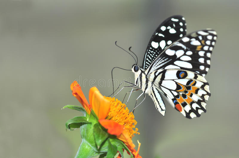 Lime butterfly on sunflower stock photography