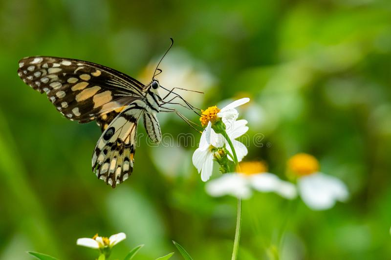Lime butterfly useing its probostic to collect the nectar from the flower royalty free stock photo