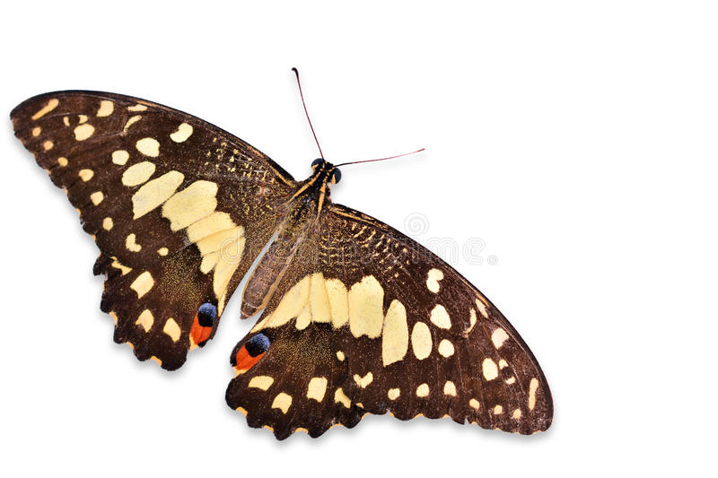 Lime butterfly royalty free stock photography