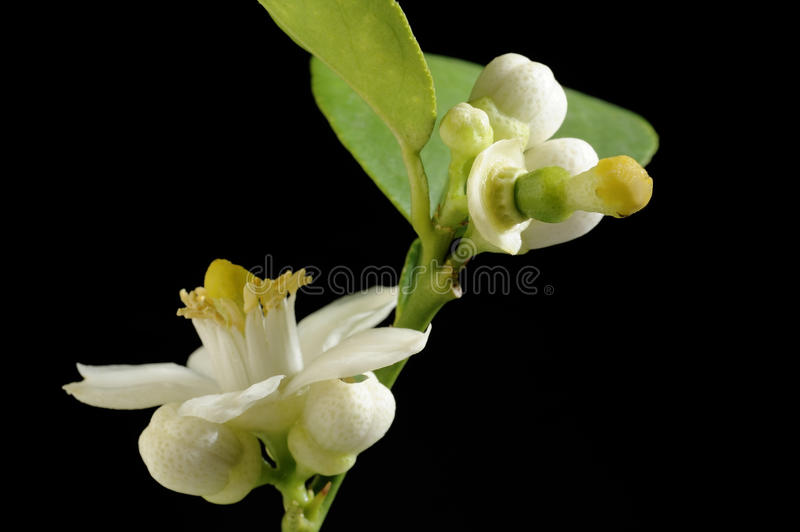 Lime with flower royalty free stock photo
