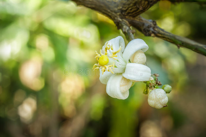Lime flower on branch with green leaves. royalty free stock image