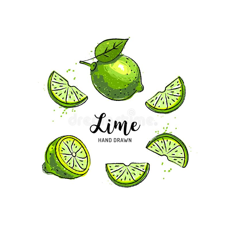 Lime fruit drawing, Half and Slice of Lemon. Watercolor limes on a white background. Vector illustration. Lime fruit drawing, Half and Slice of Lemon. Watercolor royalty free illustration