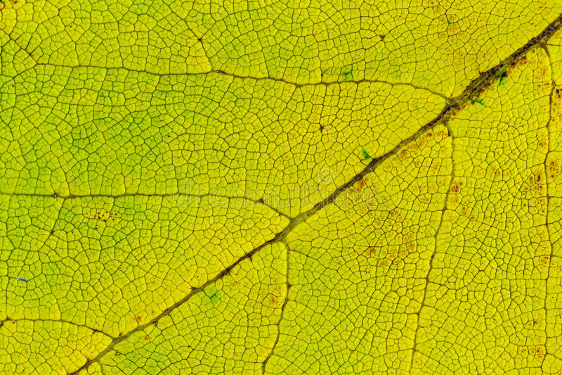 Lime green leaf texture macro closeup. Beautiful natural pattern stock photos