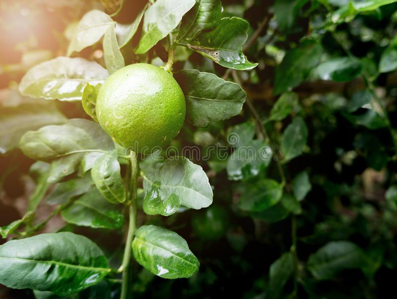 The lime or green lemon hang on the branches of the tree in the garden stock image