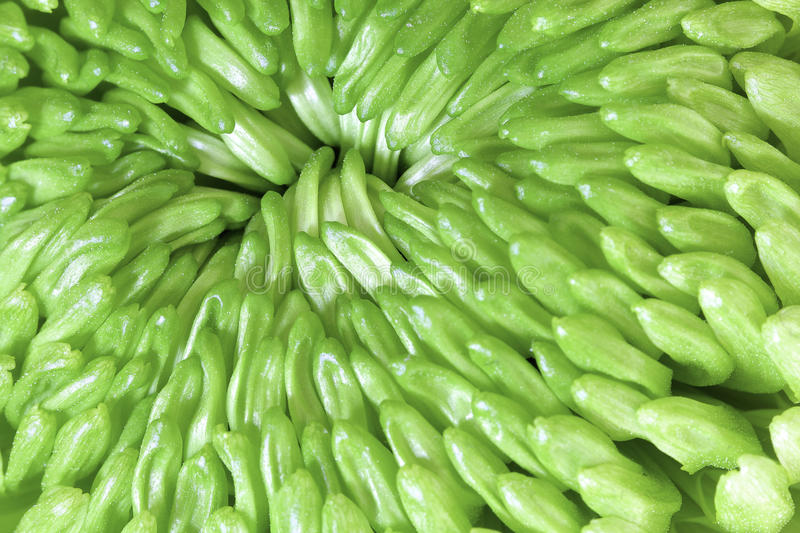 Lime Green Spiky Dahlia royalty free stock image