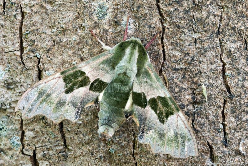 Lime Hawk moth. (Mimas tiliae) on a bark of tree stock photography