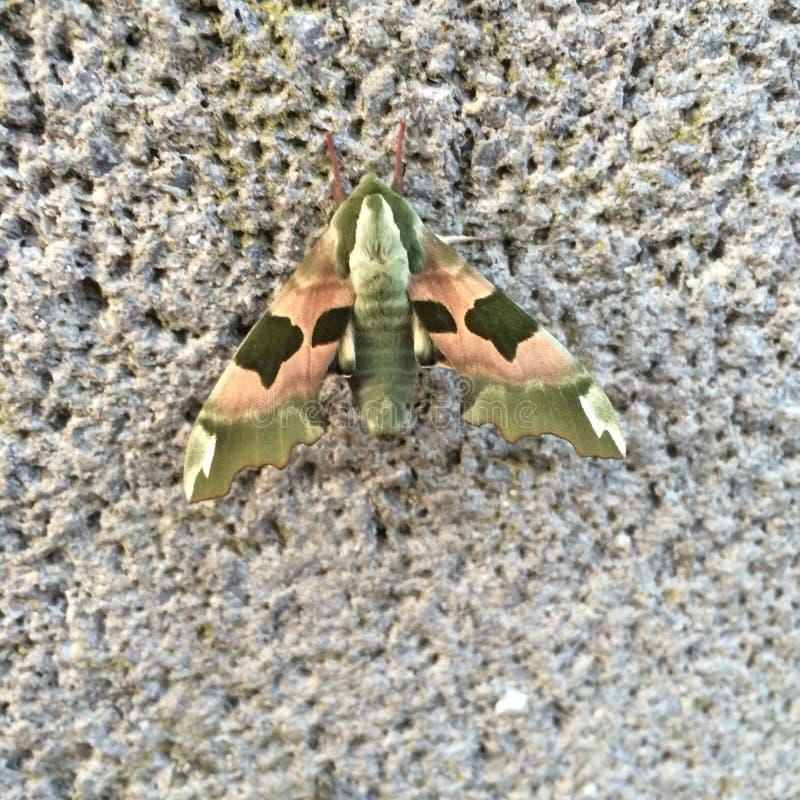 Lime Hawk-moth Mimas tiliae On Weathered Stone royalty free stock image
