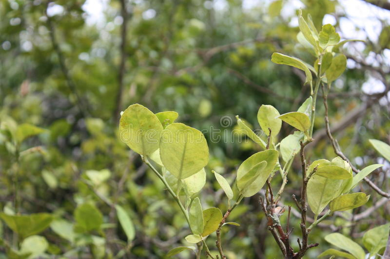 Lime leaf in the garden royalty free stock photography