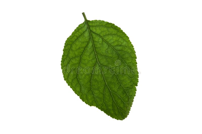 Lime leaf on a white background close-up stock images