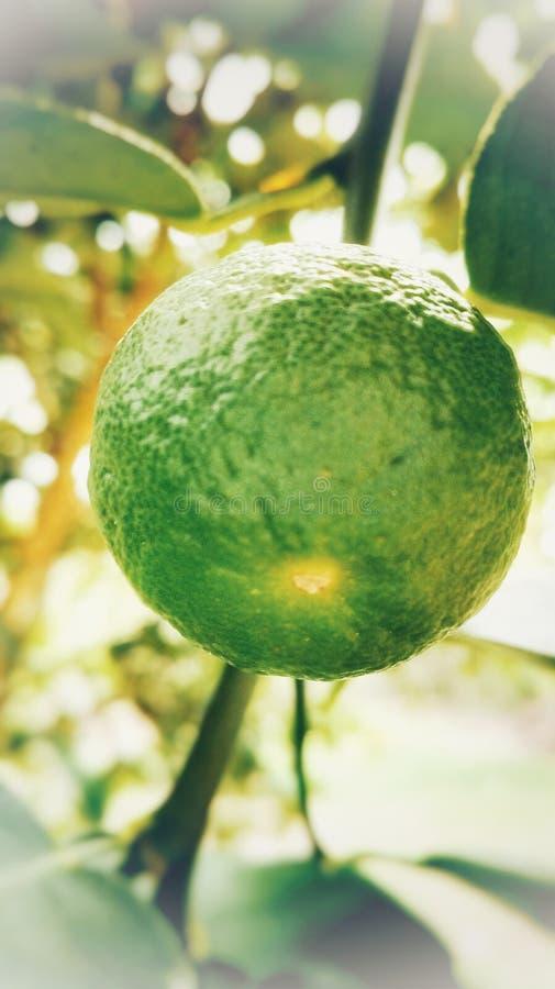 Lime Lime Single Fresh Lime stock afbeeldingen