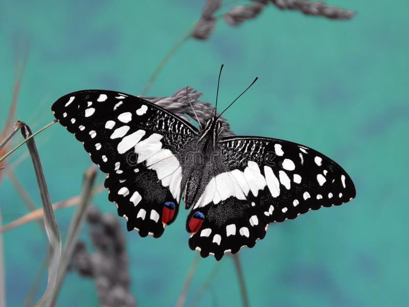 Lime Swallowtail butterfly. Lime Swallowtail Papilio demoleus butterfly on grass stem royalty free stock photos