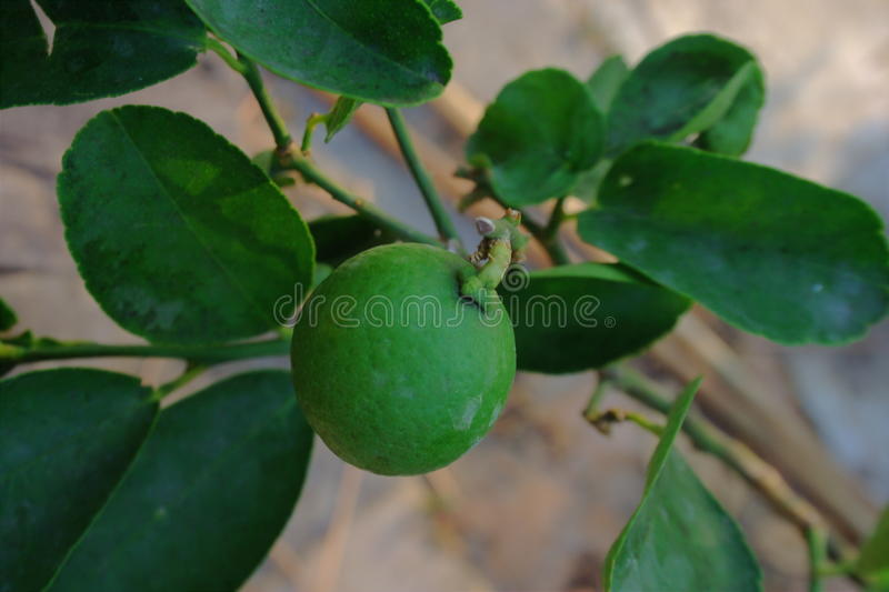 Lime. In thai stock image