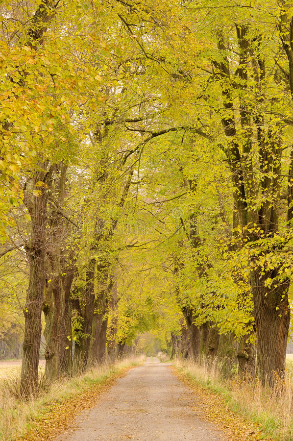 Download Lime tree avenue stock photo. Image of road, nature, tree - 17664908