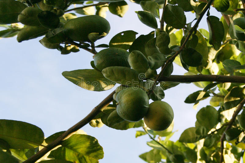 Lime tree. Focus on dark green lime tree stock photos