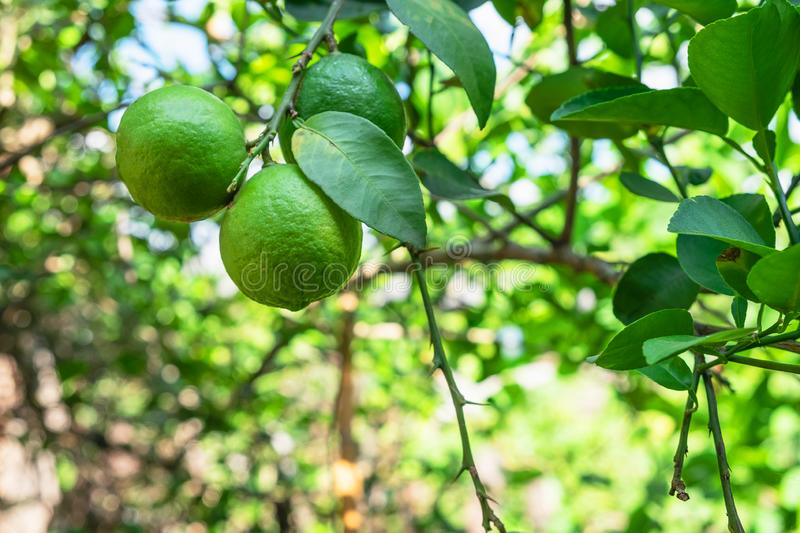 .fresh Lime from the tree stock images