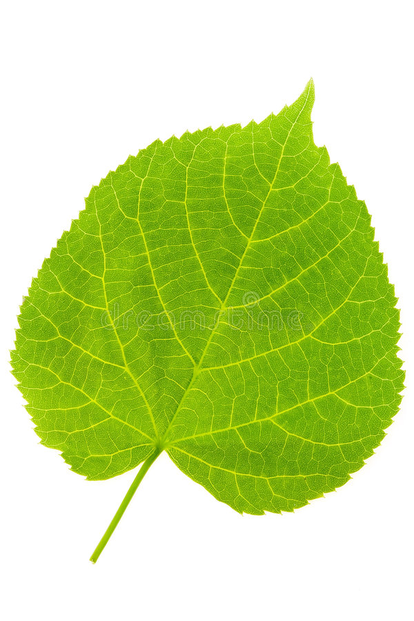 Lime Tree Leaf royalty free stock photos