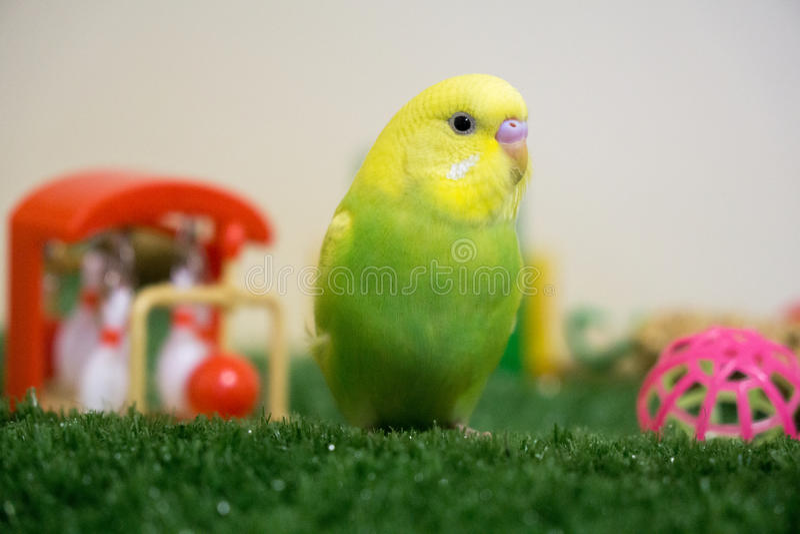 Limefrukt och gulingbudgie royaltyfri fotografi