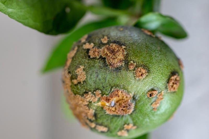 Limefrukt växtsjukdom, citrus kräfta royaltyfria bilder