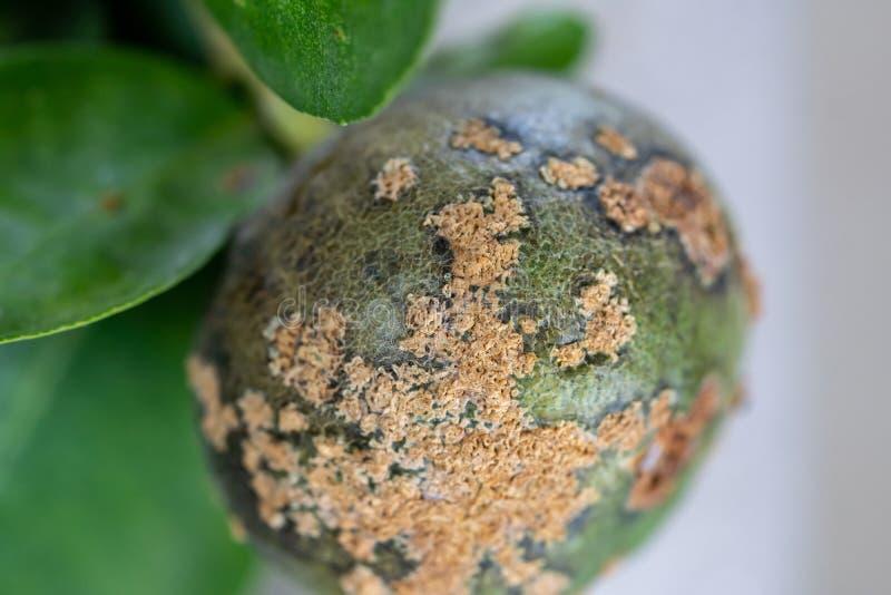 Limefrukt växtsjukdom, citrus kräfta fotografering för bildbyråer