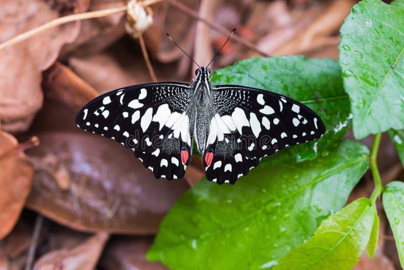 Limefruktfjäril (den Papilio demoleusmalayanusen) arkivfoto