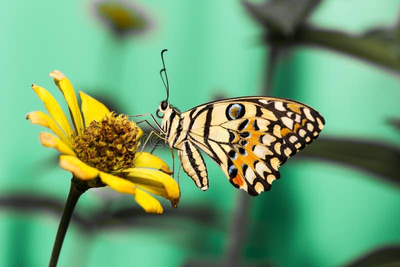 Limefruktfjäril på blomman arkivbilder