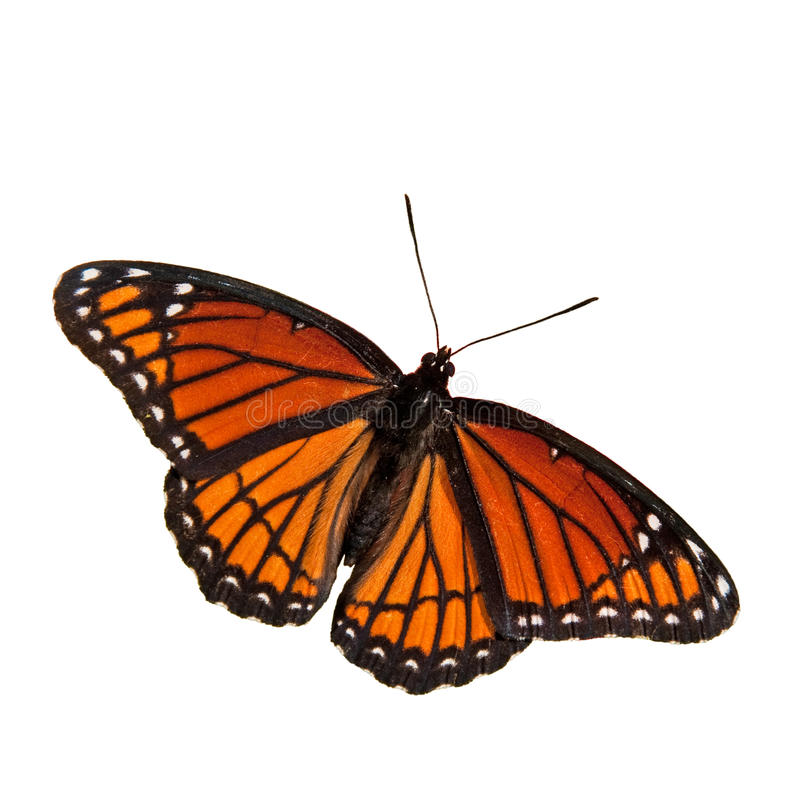 Limenitis archippus, Viceroy butterfly, stock photography