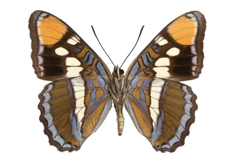 limenitis bredowii στοκ εικόνες