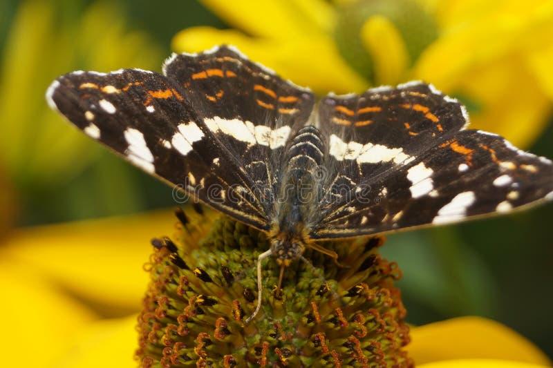 Limenitis Camilla - mały czarny icebird obraz royalty free