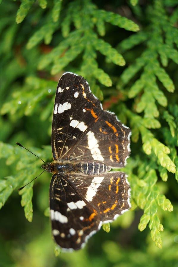 Limenitis Camilla - mały czarny icebird fotografia royalty free