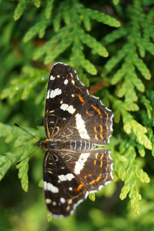 Limenitis Camilla - peu d'icebird noir photographie stock libre de droits