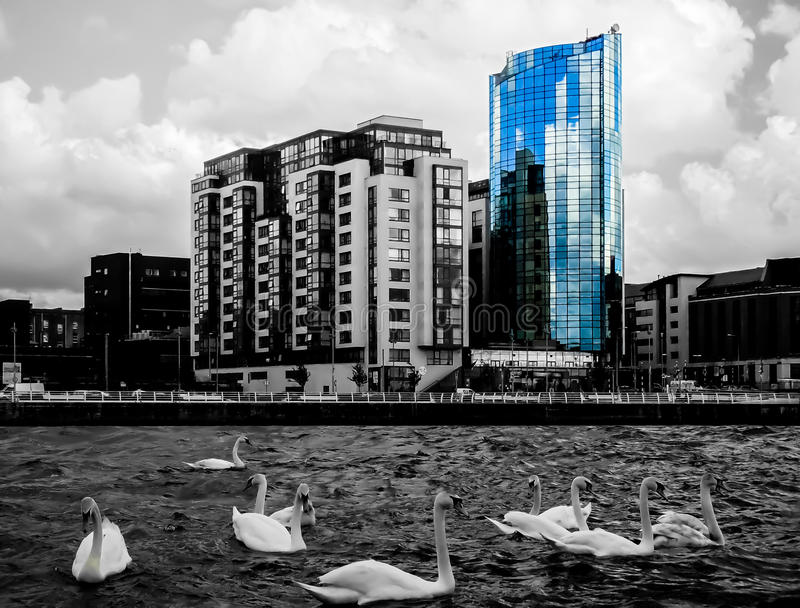 Limerick City and Swans. Swans in Shannon river, Limerick city, Ireland. Accented building is the Riverpoint - tallest storey building in Limerick and fourth stock images