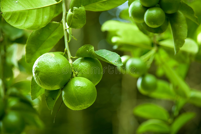Download Limes stock image. Image of growing, flora, green, fresh - 7184981