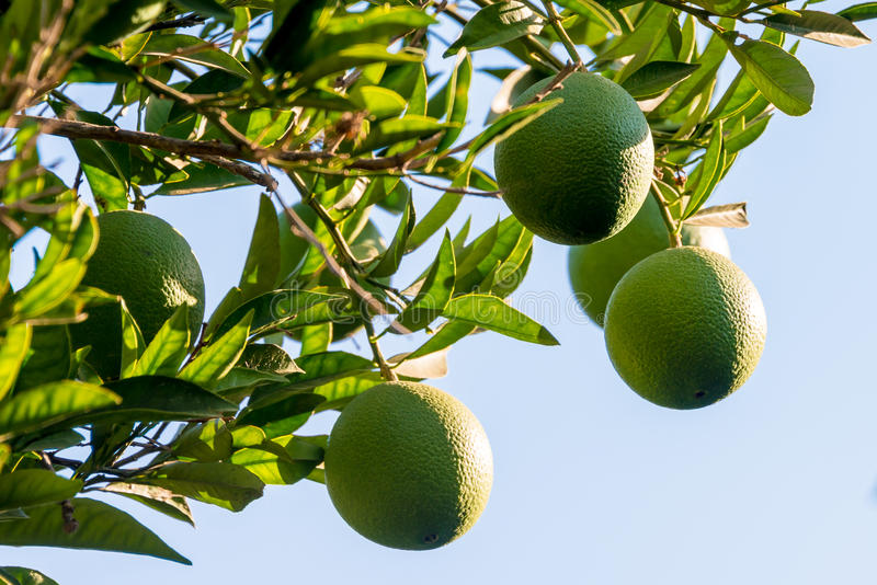 Limes growing on tree royalty free stock photography