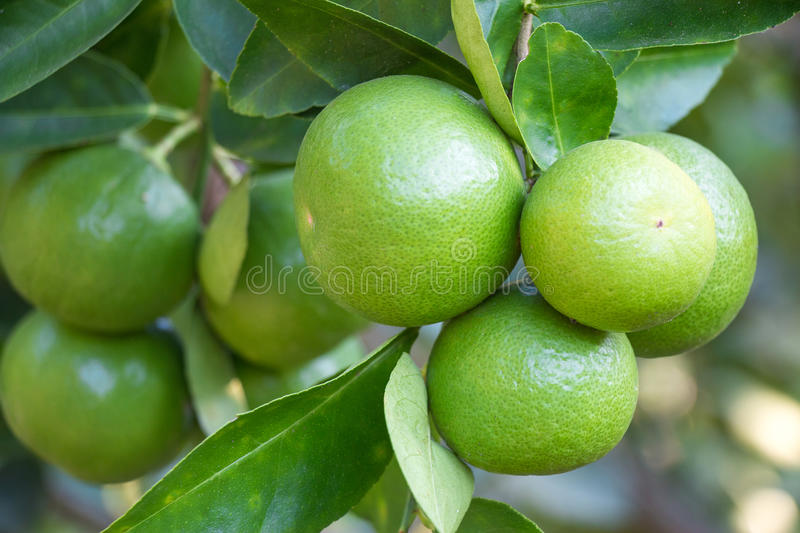 Limes hanging from the branches. royalty free stock photography