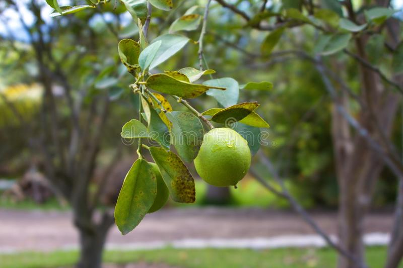 ORGANIC LIME TREE stock image
