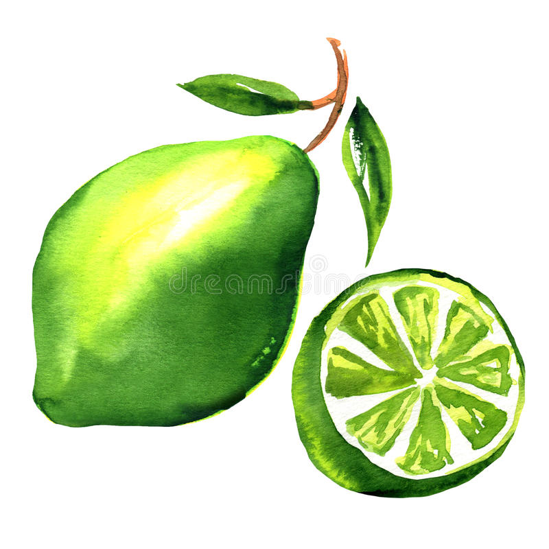 Limes with slices and leaves isolated stock illustration