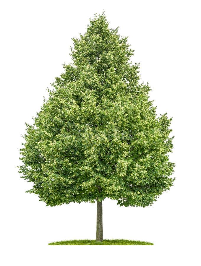 Limettenbaum stockfotografie