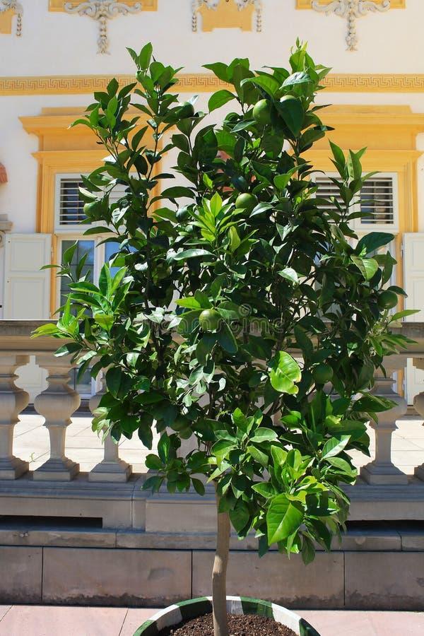 Limettenbaum mit Früchten wächst in der Wanne lizenzfreie stockfotografie