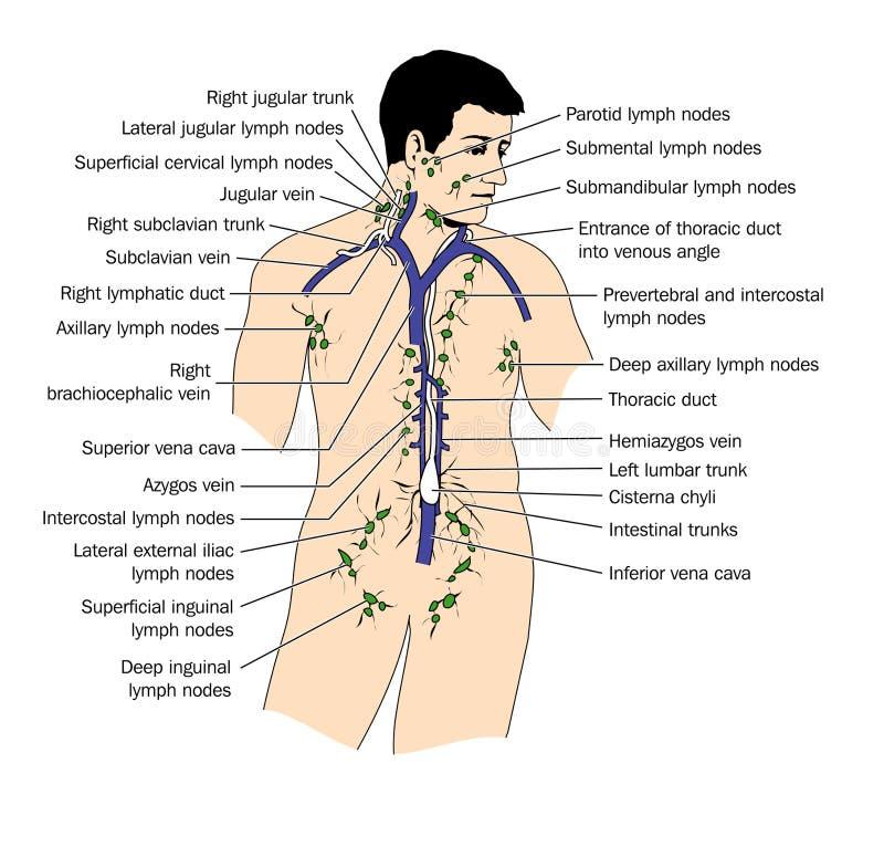 limfa system royalty ilustracja