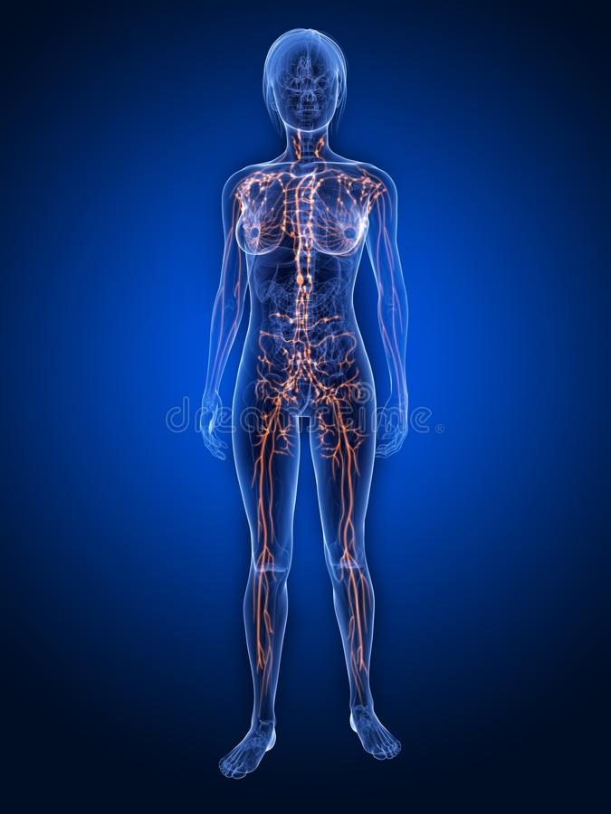 limfatyczny system royalty ilustracja
