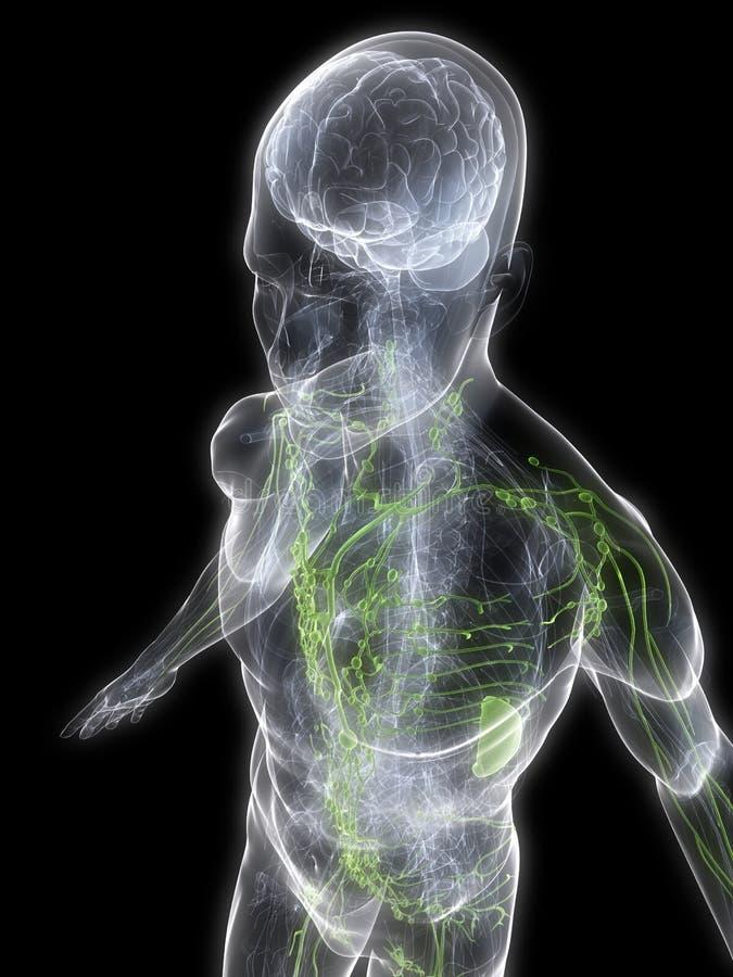 limfatyczny system ilustracja wektor