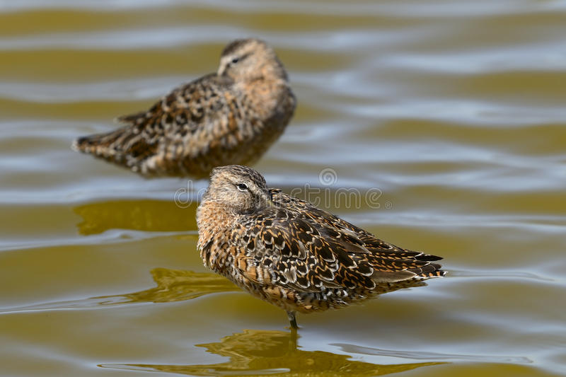 Download Limnodromus Scolopaceus, Long-billed Dowitcher Stock Photo - Image: 10178672