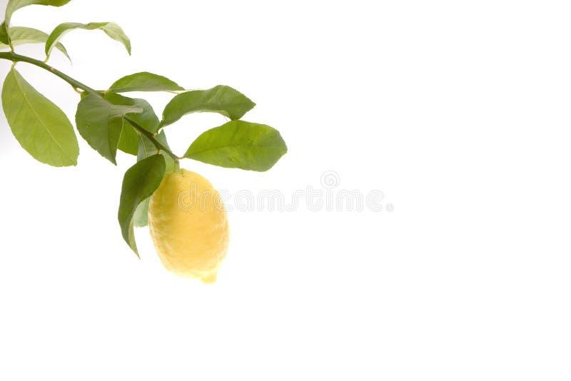 Limone che cresce sulla filiale fotografia stock libera da diritti