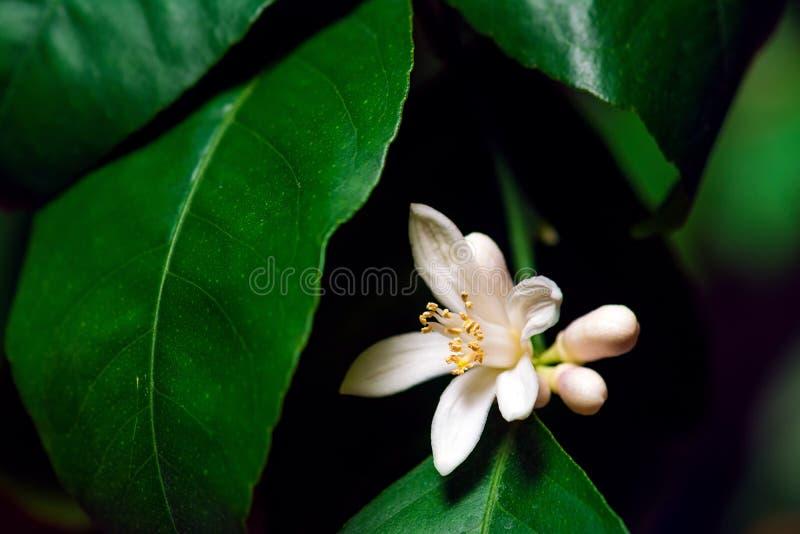 Limone di fioritura fotografie stock libere da diritti