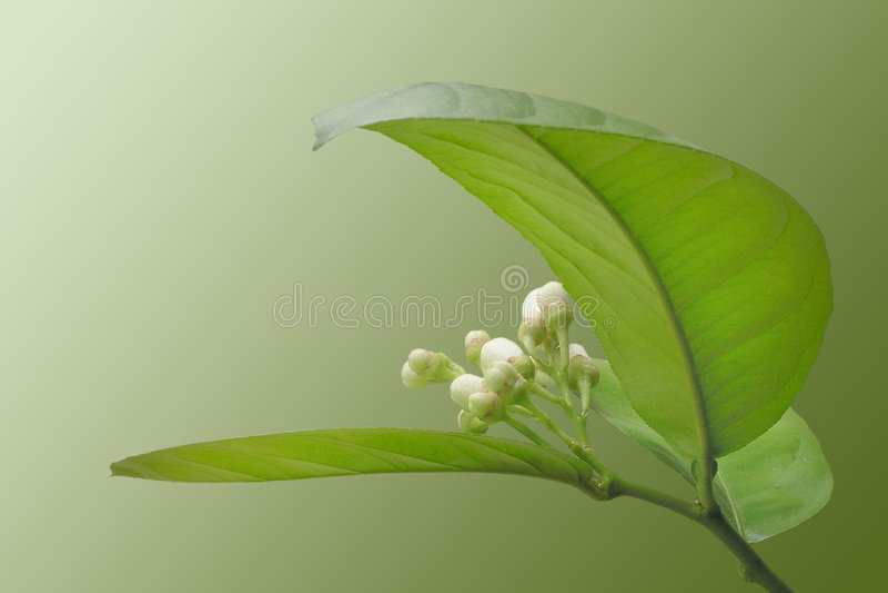 Limone di fioritura fotografie stock
